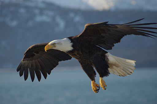 Carl Chapman, CC BY2.0,  via Wikimedia Commons, https://upload.wikimedia.org/wikipedia/commons/9/94/Bald_Eagle_Alaska_%2810%29.jpg